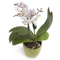 Beste keuze witte Phalaenopsis