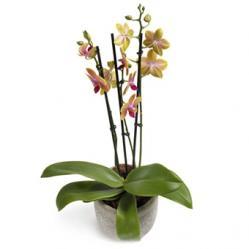 Fleurige Phalaenopsis Orchidee