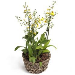 Gele Oncidium Orchidee