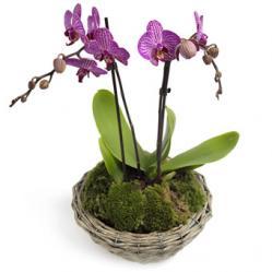 Majestieuze Phalaenopsis