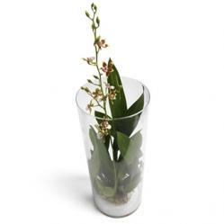 Oncidium Orchidee in glazen pot