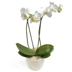 Bestseller Phalaenopsis Orchidee