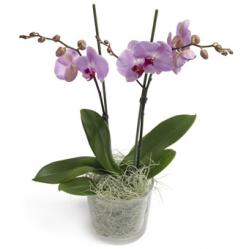 Suikerzoete Phalaenopsis Orchidee
