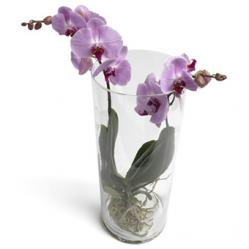 Trendy Phalaenopsis toren