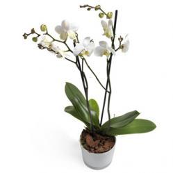 Witte Phalaenopsis Orchidee