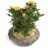 Kleine abrikooskleurige roosjes in mand