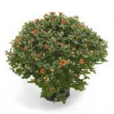 Oranje bolchrysant