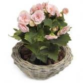 Liefelijk roze Begonia