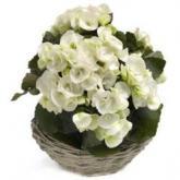 Witte Begonia schoonheden