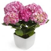 Hot Pink Hortensia