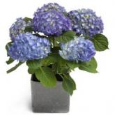Hemels blauwe Hortensia