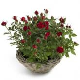 Miniatuur rode rozen