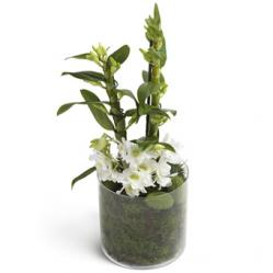 Witte Dendrobium Orchidee